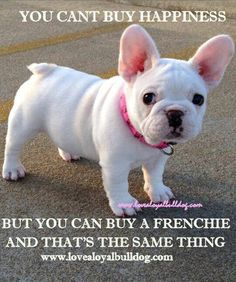 The major breeds of bulldogs are English bulldog, American bulldog, and French bulldog. The bulldog has a broad shoulder which matches with the head. Cute French Bulldog, French Bulldog Puppies, Pug Puppies, Blue French Bulldogs, French Bulldog Quotes, Frenchie Puppies, Blue Frenchie, Terrier Puppies, English Bulldogs