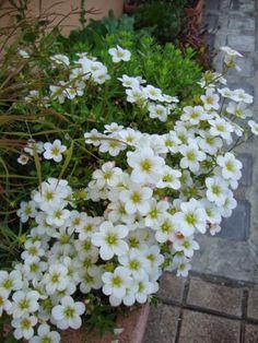 Saxifraga arendsii 'White Zwerg'
