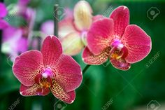 12989631-Beautiful-yellow-red-orchid-phalaenopsis-Stock-Photo.jpg 1,300×866 pixels