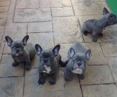 Ahhh! Can't handle the cuteness! <3 French Bulldog Puppies