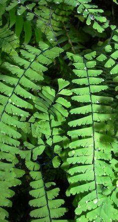 Adiantum aleuticum - winterhart bis -35°C Fern Plant, Plant Leaves, Maidenhair Fern, Platycerium, Forest Bathing, Aquatic Plants, Pretty Green, Tropical Garden, Small Gardens
