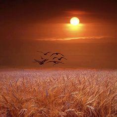 Sunset Fly Over; Golden Wheat Field; Michigan; Birds; Landscape;