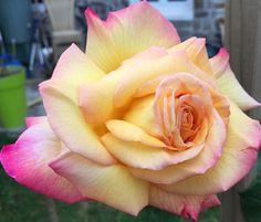 L'Automne se présente : D'abord un petit souffle, à peine, une brise. Un tremblement presque imperceptible, un frémissement tout juste. Son parfum se porte à mes narines comme une effluve soyeuse doucement transportée. Le rayon de chaude lumière qui l'illumine à travers les feuilles met son jaune d'or en valeur. Elle a éclos il y a trois jours et […] Souffle, Comme, Or, Plants, Roses, Leaves, Fragrance, Fall Season, Plant