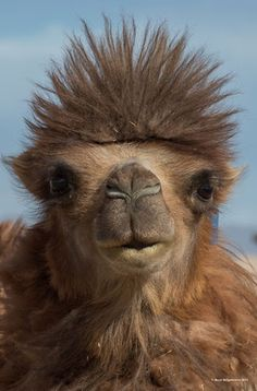 aka the Arabian Camel.a one humped camel found in north and east Africa and west and south Asia.store fat, not water, in their humps. Animals Of The World, Animals And Pets, Baby Animals, Funny Animals, Cute Animals, Reptiles And Amphibians, Mammals, Beautiful Creatures, Animals Beautiful
