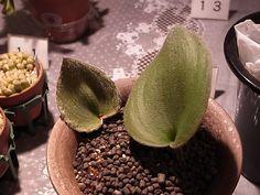 Eriospermum lanuginosum