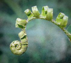 Fiddlehead by EJMphoto, via Flickr