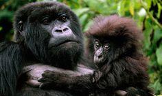 Visit the Gorillas in Rwanda