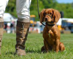 pinterest dog training   Gun Dog Training   Gun dog training   Pinterest