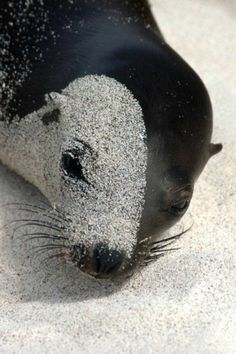 "love this photo! Nothing like when a seal falls asleep on the sand ... and ends up with ""sand-face""! LOL"
