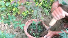 How to plant roses in the ground