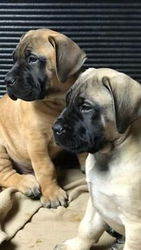 Litter Of 9 Mastiff Puppies For Sale In Weaverville Nc Adn 63246