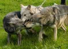 UK Wolf Conservation Trust - Wednesdays