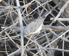 Lucy's Warbler (14)
