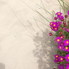 Taken on our killarney walk.  I really liked the shadows on the sand.  #portfairy #shadow #nativeflowers #killarney #drifthouseportfairy #greatoceanroad by pfdrifthouse