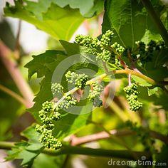 Growing bio grapes