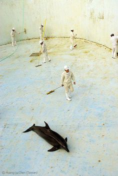 And here we have 6 dip-shits cleaning a captured dolphin's tank. Let's not bother to remove the dolphin first. It can just lay there exposed to the sun and chemicals. I swear humans are the most asinine creatures on this earth!