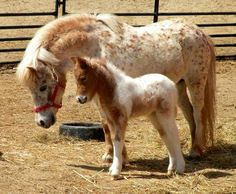 Postons Tiny Dancer in her winter woolies with her baby Cute Baby Horses, Mini Horses, Animals And Pets, Baby Animals, Cute Animals, Curly Horse, Shetland, Mini Pony, Most Beautiful Horses