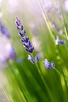 Un brin de lavande  #macro #photo #photographie #fleurs #détail #grosplan #lavande