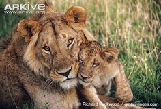 Young male African lion with cub - View amazing Lion photos - Panthera leo - on ARKive