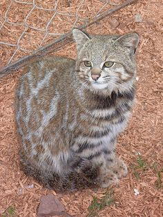 Andean mountain cat (Leopardus jacobita) is a small wild cat native to the high Andes mountains. Less than 2500 individuals are thought to exist in the wild. It is one of only two cat species for which no subspecies has been described. The Andean mountain cat has an ashy-gray fur, a gray head, ears and face.