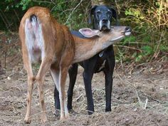 After being abandoned by her mother, a baby fawn, Pippin, was adopted by a Great Dane, Kate, and they have been best friends ever since