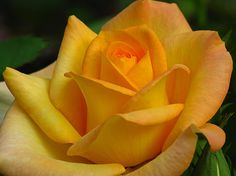 Flower photography picture of a yellow rose, captured in the inspiring Minot Rose Graden in Brookline, MA by Boston photographer Juergen Roth.  Good light and happy photo making!  My best,  Juergen http://www.exploringthelight.com http://www.rothgalleries.com @NatureFineArt http://whereintheworldisjuergen.blogspot.com/ https://www.facebook.com/naturefineart