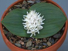 MassoniA plant