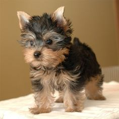 24 Best Best Dog Food For Yorkies Images Best Dog Food Yorkie