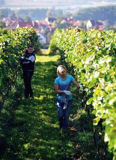 Przydomowa winnica Fot. Marek Lasyk/REPORTER, Flora Press, GAP Photos,  Shutterstock, materiały prasowe #winnica #ogród #winogrona #sad #ogrodnik #gospodarz #owoce #wino #wina #dom #zieleń #wiosna #lato #słońce