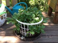 Container Plants, Container Gardening, Gardening Tips, Organic Gardening, Grow Potatoes In Container, Container Flowers, Cheap Raised Garden Beds, Raised Beds, Planting Potatoes