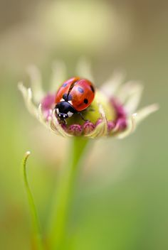 Ladybug by Mandy Disher on 500px