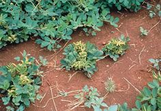 rosette: disease symptom characterized by short, bunchy growth habit due to shortened internodes and no comparable reduction in leaf size (chlorotic rosette symptom in peanut caused by the groundnut rosette virus)