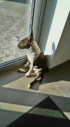 Uplifting So You Want A American Pit Bull Terrier Ideas. Fabulous So You Want A American Pit Bull Terrier Ideas. Chien Bull Terrier, Pitbull Terrier, Best Dog Breeds, Best Dogs, Animals And Pets, Cute Animals, Education Canine, Puppies And Kitties, Doggies