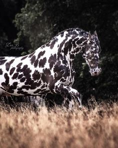 The distinctive patterns that North Americans recognize as Appaloosa coloring have been seen and prized on horses throughout the ages and all over the world Leopard Appaloosa, Appaloosa Horses, Friesian Horse, Most Beautiful Horses, All The Pretty Horses, Animals Beautiful, Horse Girl, Horse Love, Zebras