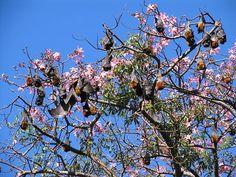 "Royal Botanic Gardens, Sydney  Flying foxes nesting in a very pretty flowering ""Floss silk tree"" Chorisia Speciosa             #bats #wings"