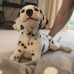 Top Friendliest Dog Breeds In The World! Check out top 5 best most friendly dog breeds. Friendliest dog breeds for kids! Cute Little Animals, Cute Funny Animals, Cute Little Dogs, Cute Dogs And Puppies, I Love Dogs, Doggies, Puppies Puppies, Dalmatian Puppies, Doberman Puppies