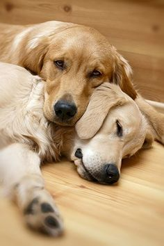 View of two dogs lying - Golden Retriever Poster. Beautiful Dogs, Animals Beautiful, Cute Animals, Cute Puppies, Cute Dogs, Dogs And Puppies, Doggies, Corgi Puppies, Puppy Husky