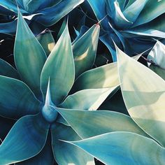 Botanical Beauty :: Plants :: Cacti :: Nature :: Free your Wild :: See more Untamed Garden Decor + Style Inspiration Succulents Tumblr, Cacti And Succulents, Cacti Garden, Cactus E Suculentas, Illustration Blume, Landscape Illustration, Plants Are Friends, Agaves, Green Life