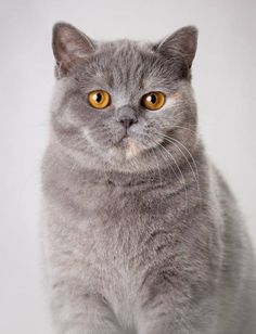 Silly Cats, Cats And Kittens, Cute Cats, Funny Cats, Animals And Pets, Cute Animals, Japanese Cat, Photo Chat, British Shorthair