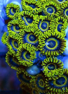 Blue and green zoanthids that were for sale. Imagine having this in your family room :) http://what-do-animals-eat.com/coral/