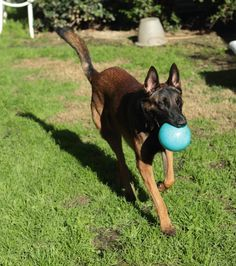 West Coast Belgian Malinois Rescue & Adoption Woof Project is a non-profit serving California, Washington, Oregon, Idaho, Nevada. Adopt a Belgian Malinois Belgian Malinois, Animal Shelter, Rescue Dogs, Dogs And Puppies, Adoption, Projects, Animals, Handsome, China