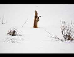 2012 National Geographic Photography Contest Winners - Red Fox Catching Mouse Under Snow