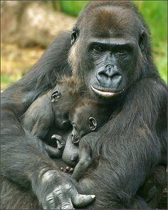 June N'Gayla, a female Gorilla in Burgers' Zoo (Arnhem in… Primates, Mammals, Cute Baby Animals, Animals And Pets, Strange Animals, Beautiful Creatures, Animals Beautiful, Female Gorilla, Gorilla Gorilla
