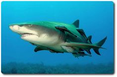 Lemon Shark: http://www.sharksider.com/lemon-shark