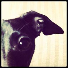 My Italian Greyhound  #dog #puppy #italiangreyhound