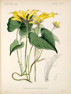 William Hemsley Botany , 1879-1888; Plants,  Image number:bca_21_05_00_135
