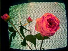 #flower #rose #static #TV