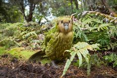 Stock Photo : Kakapo (Strigops habroptilus) male in forest, Codfish Island, Southland, New Zealand Flightless Parrot, Kakapo Parrot, Save Animals, Animals And Pets, Funny Animals, Vogel Illustration, Animals Are Beautiful People, New Zealand Art, Beyond The Sea