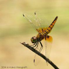 Dancing Dragonfly