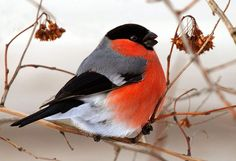 Pretty Birds, Love Birds, Beautiful Birds, Animals And Pets, Cute Animals, Parus Major, Winter Illustration, Bullfinch, Wooden Bird